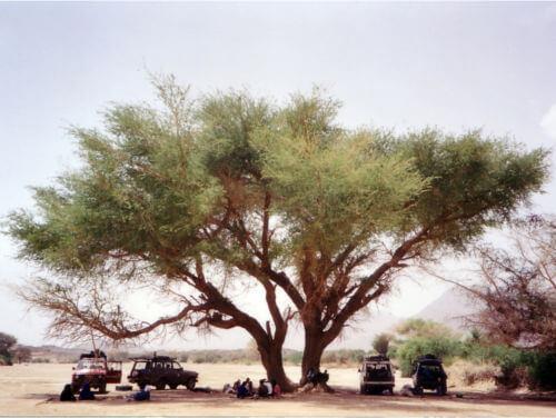 Acacia désert