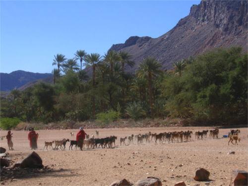 Troupeau animaux désert